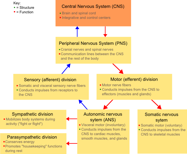 Autonomic Nervous System: Structure, Functions and Diseases | Med ...