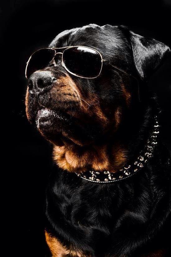 Handsome Boy Rottweiler Dog Rottweiler Dogs