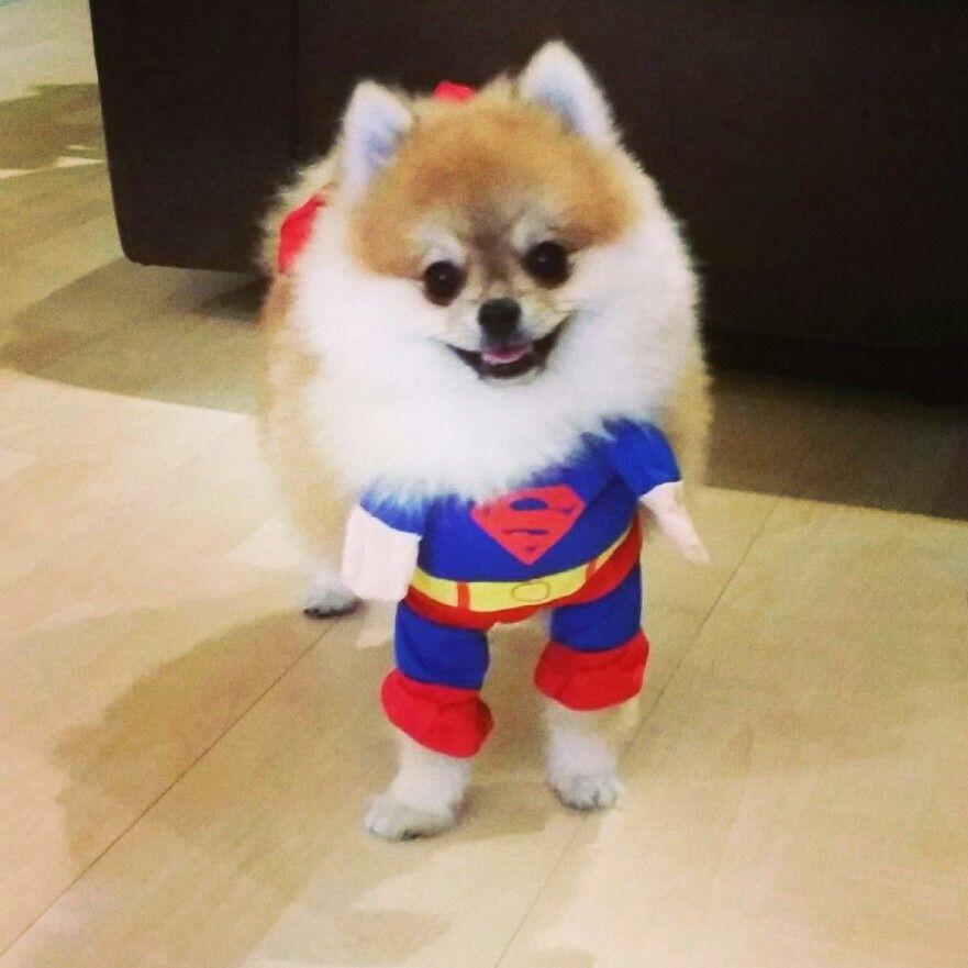 Superman Pomeranian Halloween Costume Lol Dog Costumes Dog