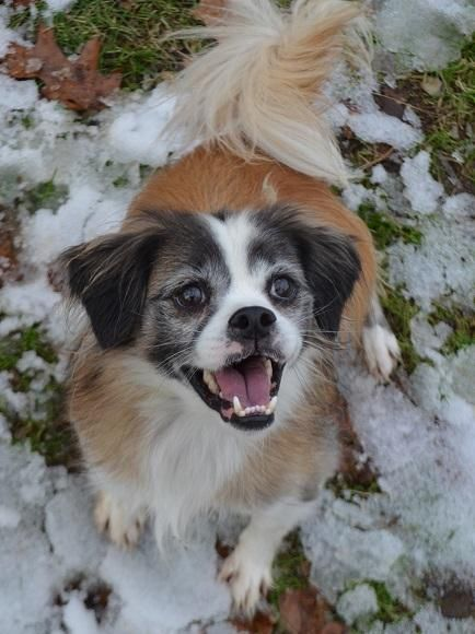 Adopt Roscoe On Dogs Sheltie Pets