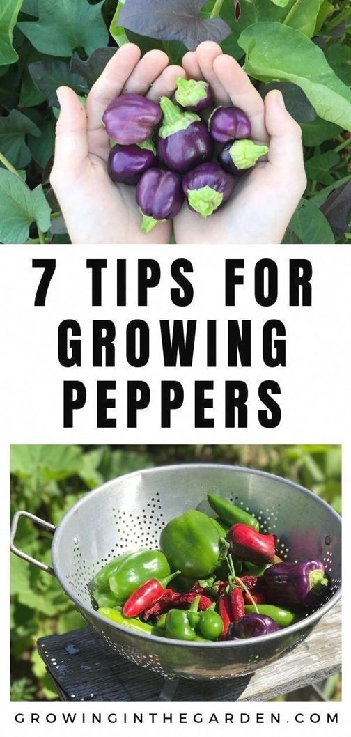 How to Grow Peppers  Growing Peppers How to Grow Peppers  Growing Peppers