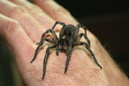 Here is a Wolf Spider.