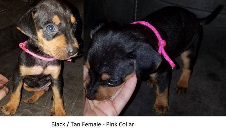 Catahoula Leopard Dog Puppy For Sale In Huntington Tx Adn 27253