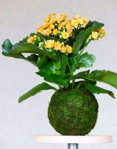 plante grasse originaire d'amerique