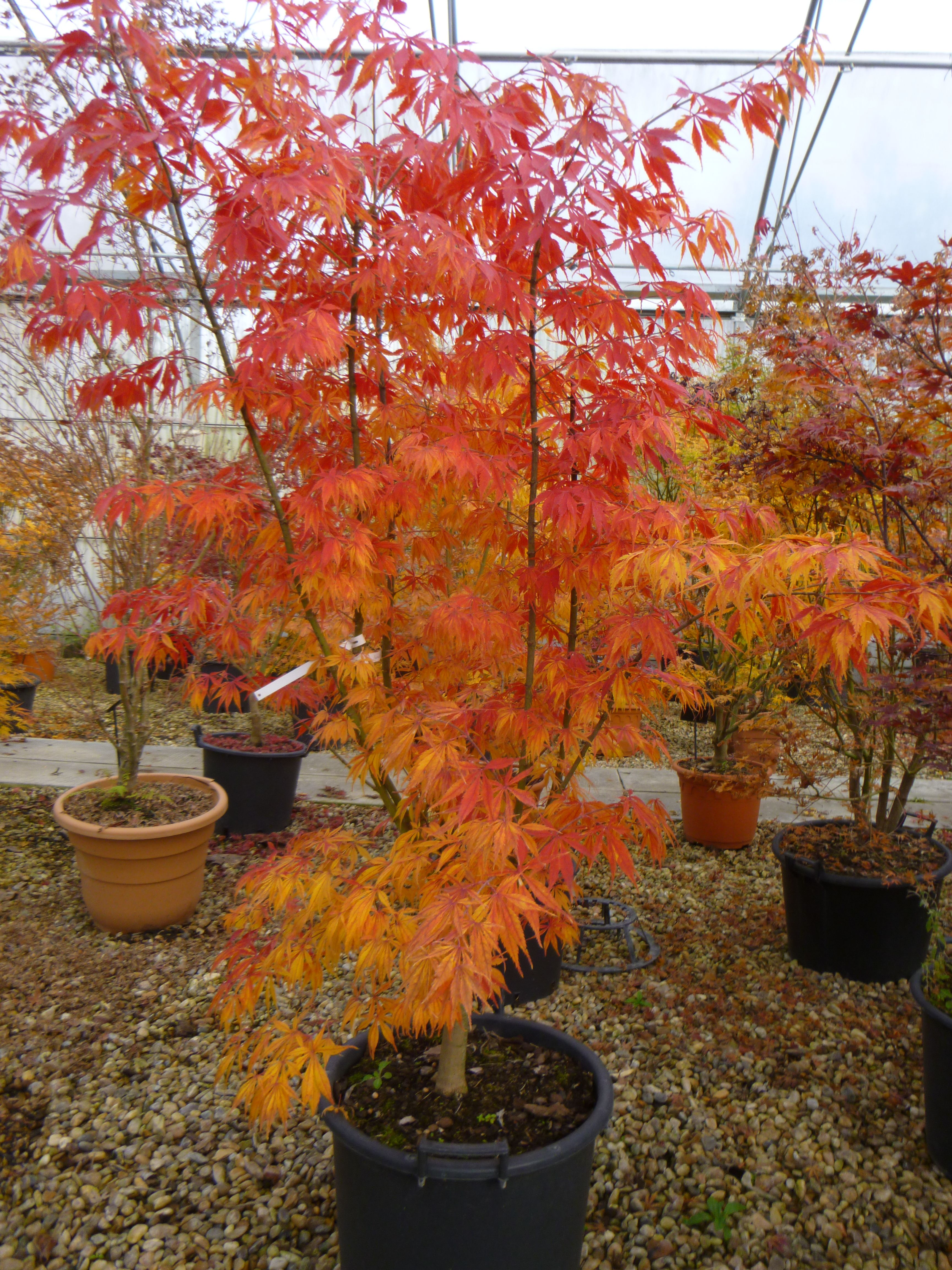 Acer palmatum \'Elegans\' en couleur d\'automne - Pépinières du Val de ...