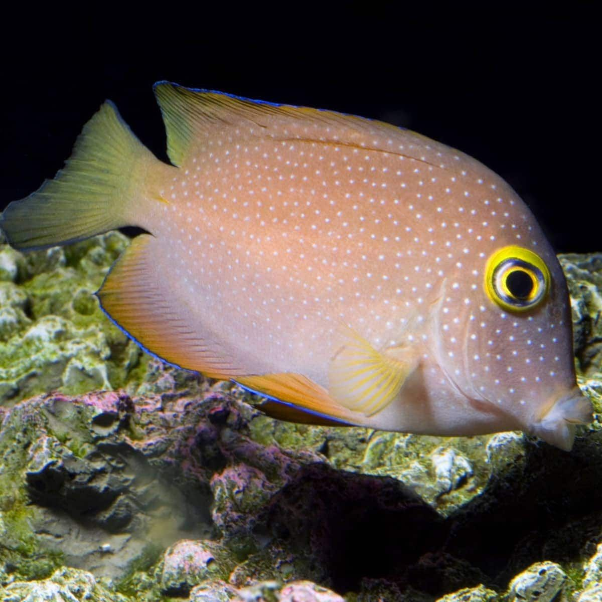 45 99 Spotted Yellow Eye Tang Ctenochaetus Truncatus Care Minimum Tank Size 70 Gallons Care Level Intermediate Temperament Semi A Yellow Eyes Fish Pet Tang