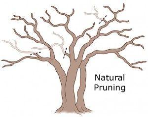 Pruning Crepe Myrtle Trees Crepe Myrtle Trees Myrtle Tree Crepe Myrtle