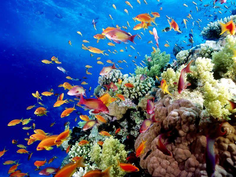 Great Barrier Reef Great Barrier Reef Fish Wallpaper