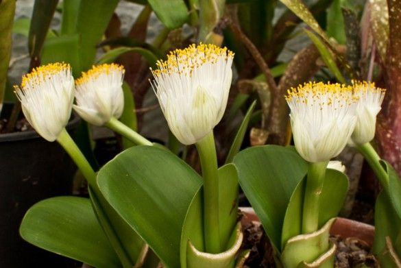 Haemanthus Albiflos More Commonly Known As The Shaving Brush Plant Plants Ginger Plant Torch Ginger