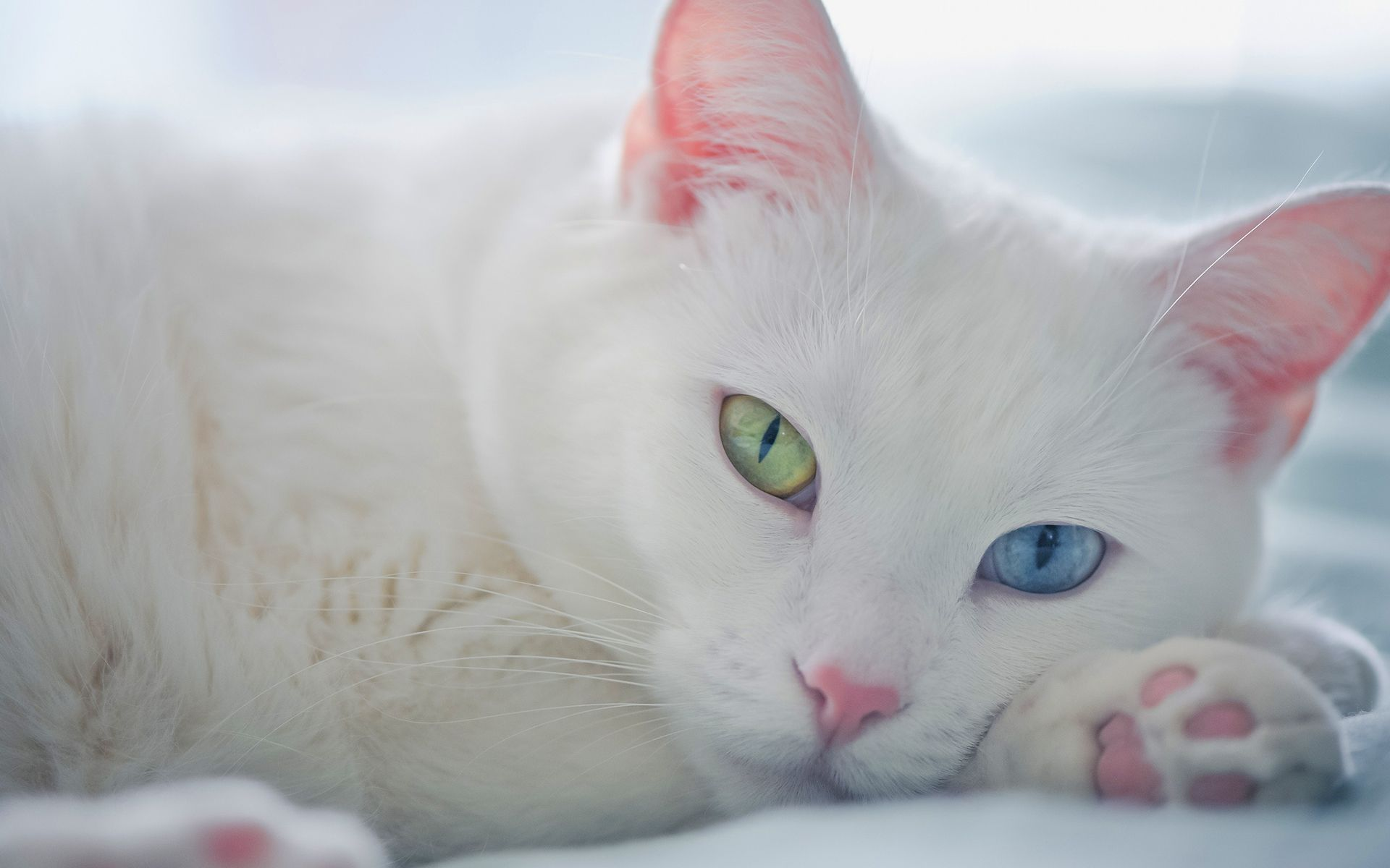 White Cats With One Yellow And Blue Eyes