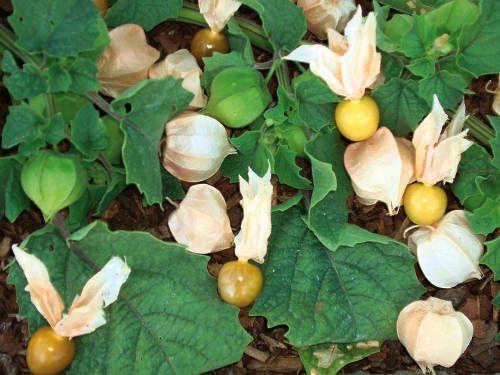 Cossack pineapple ground cherry physalis pubescens a for Pineapple in the ground