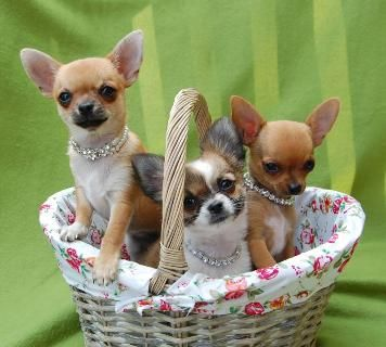 Pin Van Patty Op Chihuahua Chihuahua S