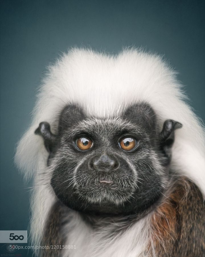 Animal Personality: Cotton-top tamarin Jeronimo by erblicken. Please Like http://fb.me/go4photos and Follow @go4fotos Thank You. :-)