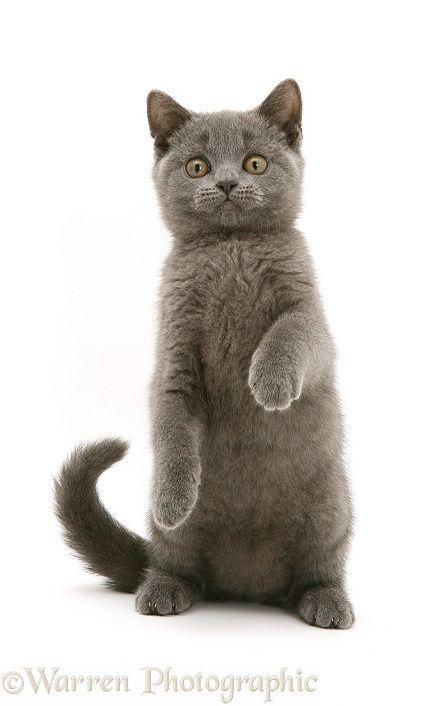 British Shorthair Blue Kitten Cats And Kittens Kitten Photos British Shorthair