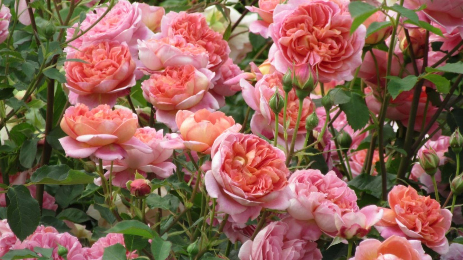 Celebrating Our 15th Anniversay - Our 15 Favourite Roses - Petersham Nurseries