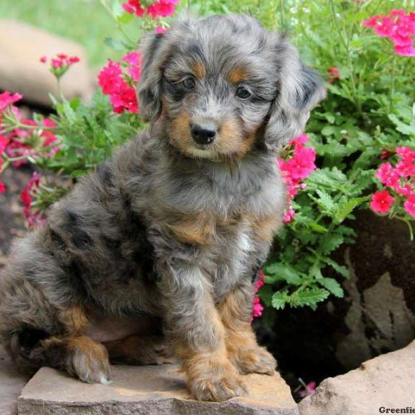 Grace Aussiedoodle Miniature Puppy For Sale In Pennsylvania