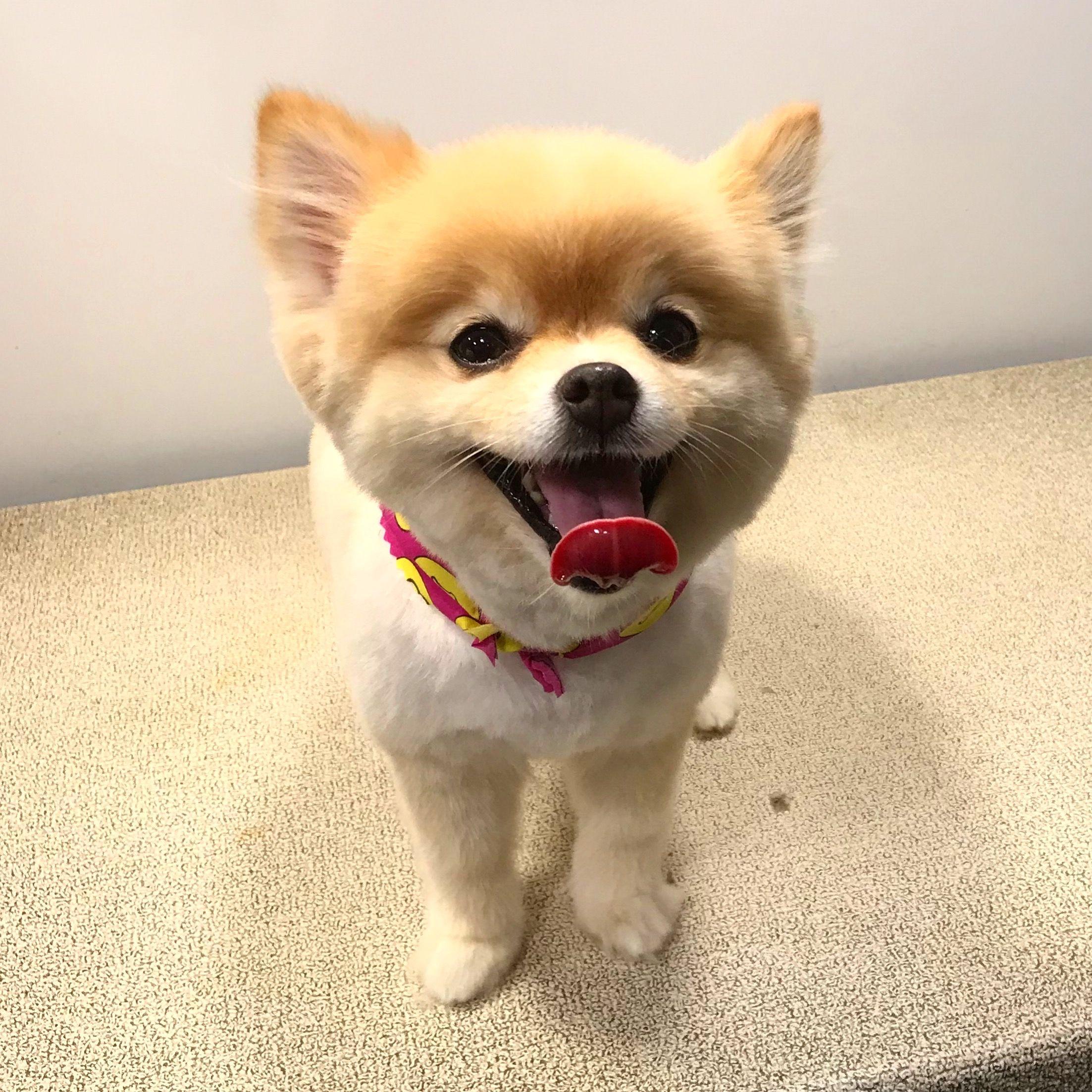pomeranian love animal dog throwback Pet groomers