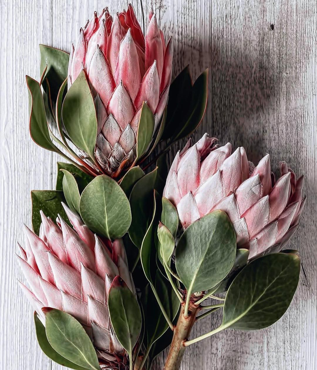 Botanicaetcetera On Instagram Art Istic Licence King Protea By Jane Greystone Janegraystone Kingpr Protea Flower Beautiful Flowers Wallpapers Protea Art