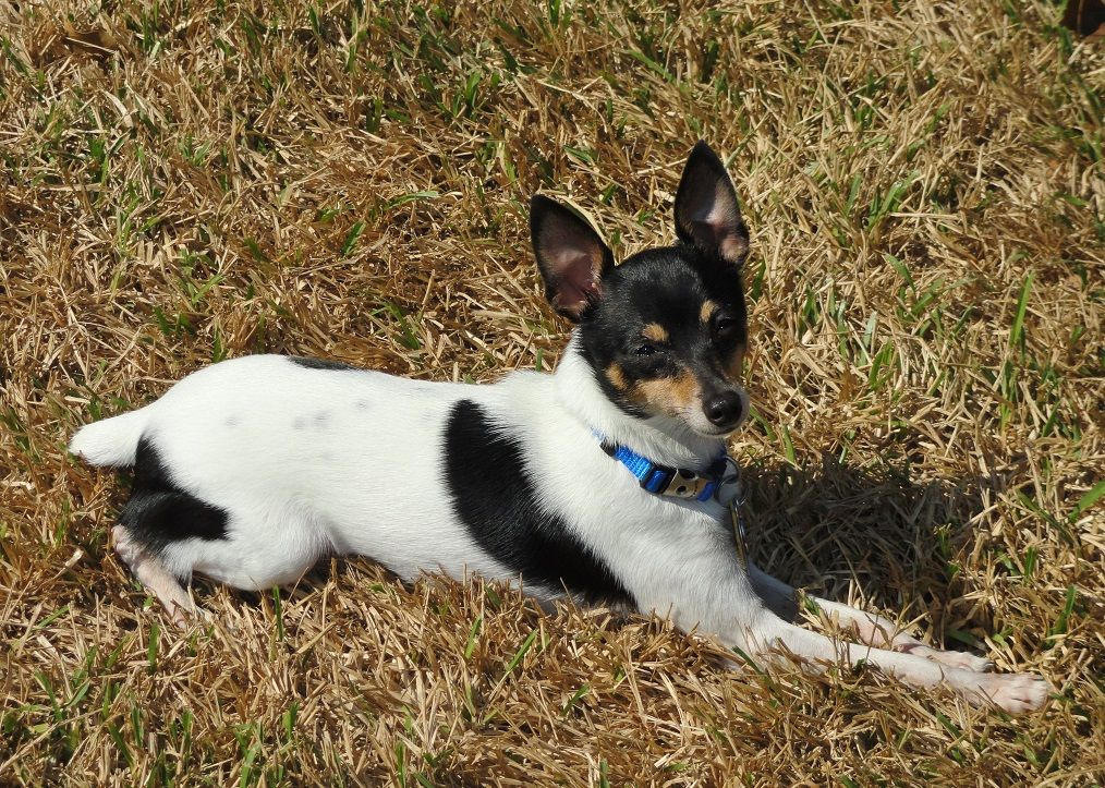 Toy Fox Terrier Female 1 1 2 Years Old Happiness Is Basking In