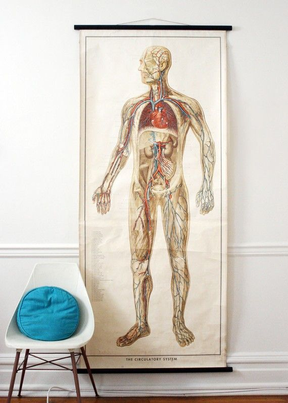 Antique 1952 Life Size Anatomy Circulatory System Medical Wall Chart