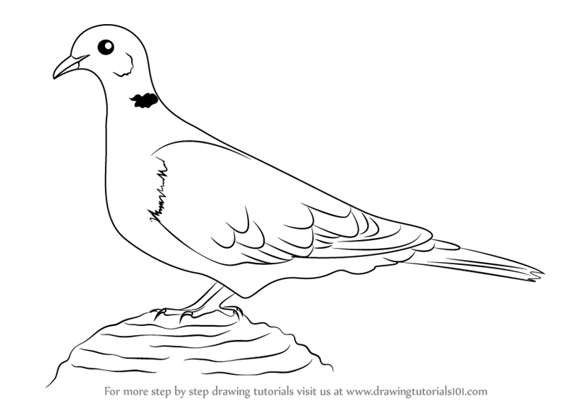learn how to draw a collared dove birds step by step drawing tutorials