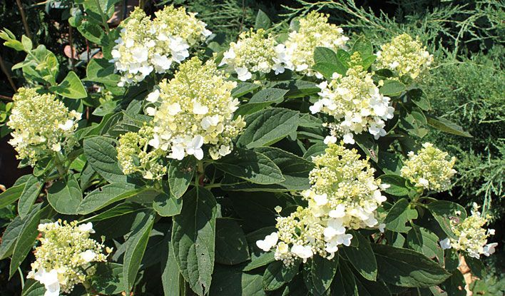Hydrangea Pan Sweet Summer Long Blooming All Summer Long From Green To White To Pink Garden Diy Summer Hydrangeas Hydrangea Paniculata Panicle Hydrangea