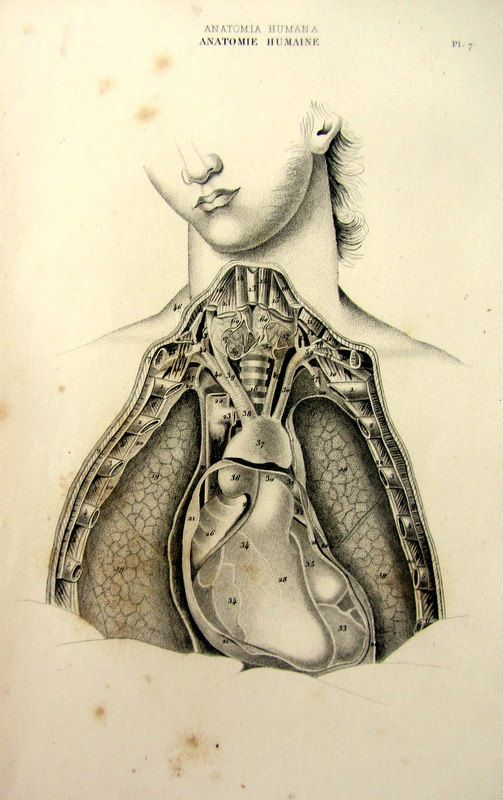 1852 Vintage human anatomy circulatory and respiratory apparatus ...