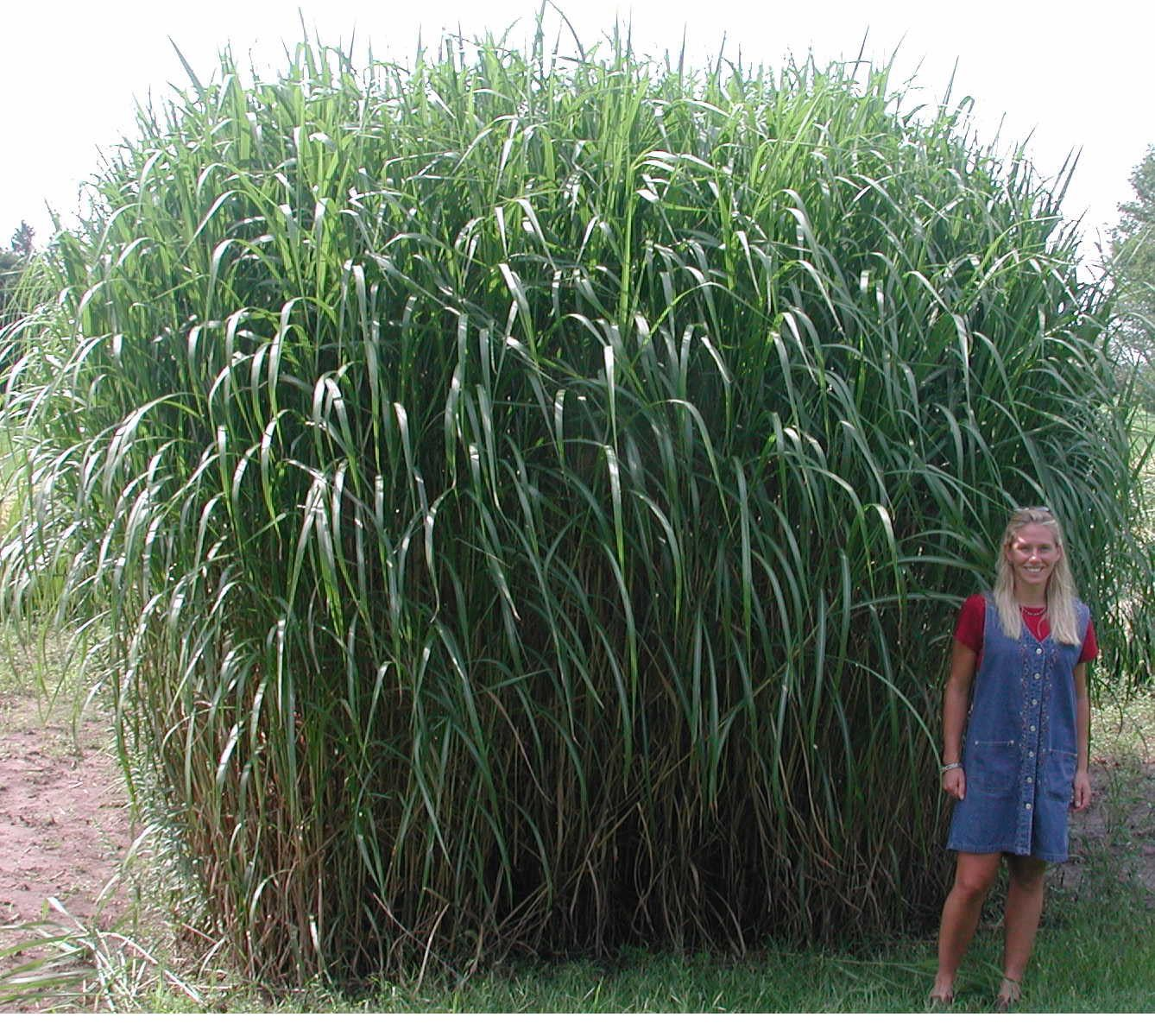 Miscanthus Giganteus I Have 4 On Reserve For The Fence At Side