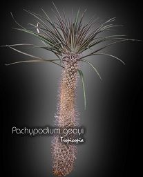 Cactus & Succulent - Pachypodium geayi - Madagascar Palm