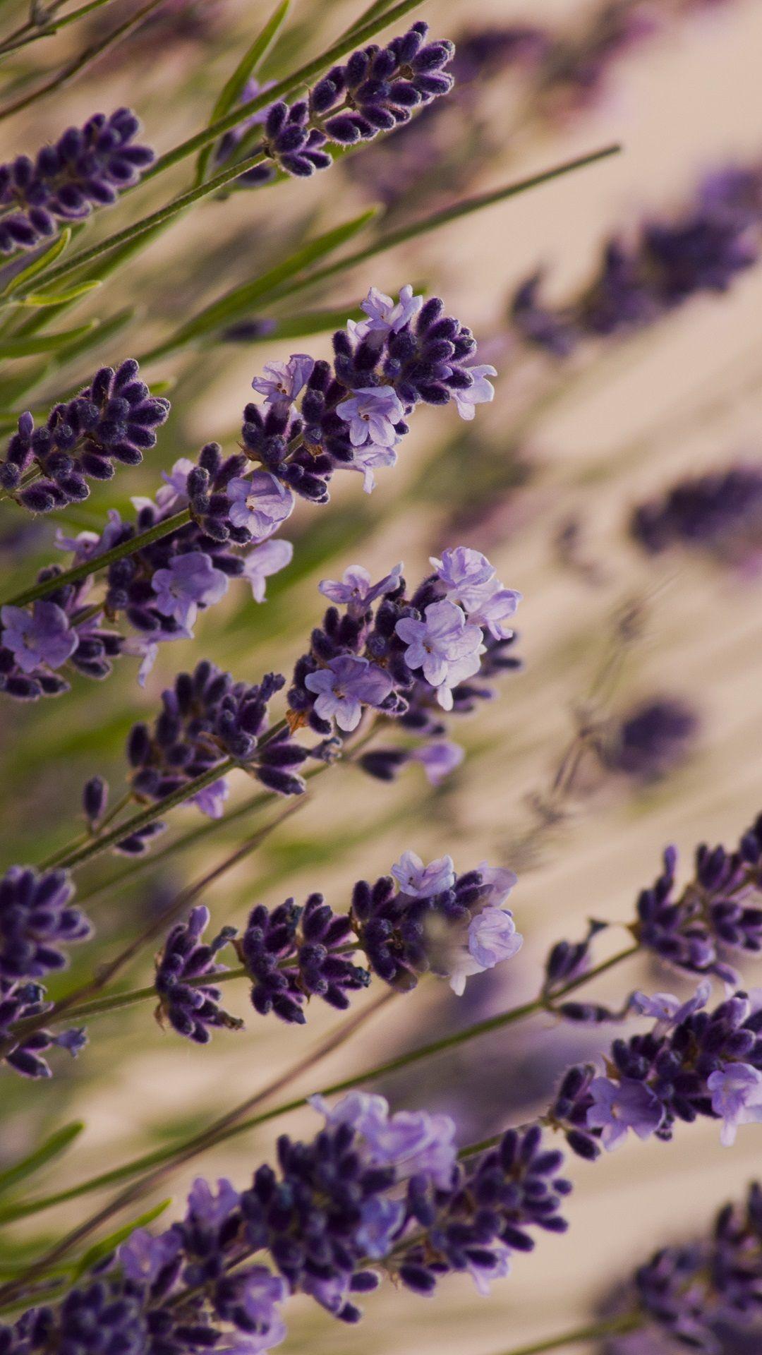 Beautiful lavender, macro, meadow iPhone 6 (6S) Plus