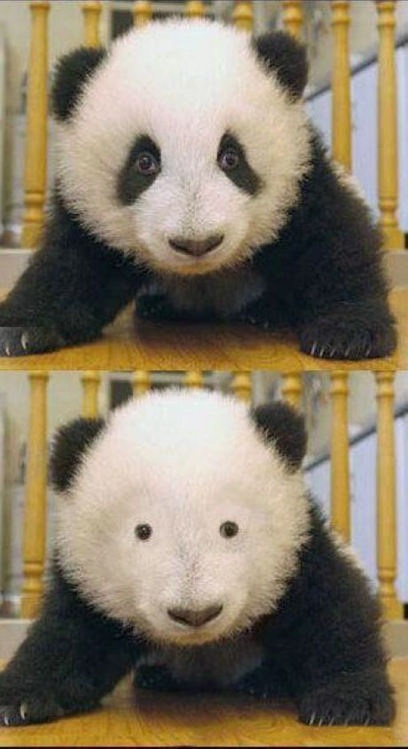 Panda without dark circles
