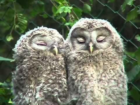 Nationalpark Bayer. Wald: Junge Habichtskäuze schmusen - ural owls chattering