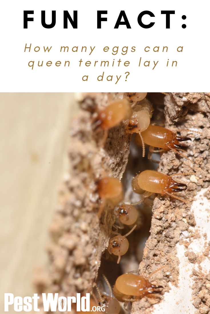 Fun Fact A Termite Queen Can More Than 1 000 Eggs In One Day Termites Fun Facts Facts