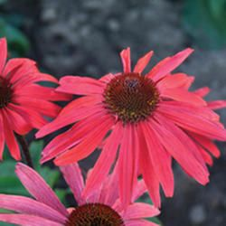 Search Results for 'coneflower'