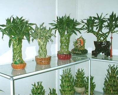Lucky Bamboo Plants Bamboo Pinterest Bambú, Plantas y - decoracion zen