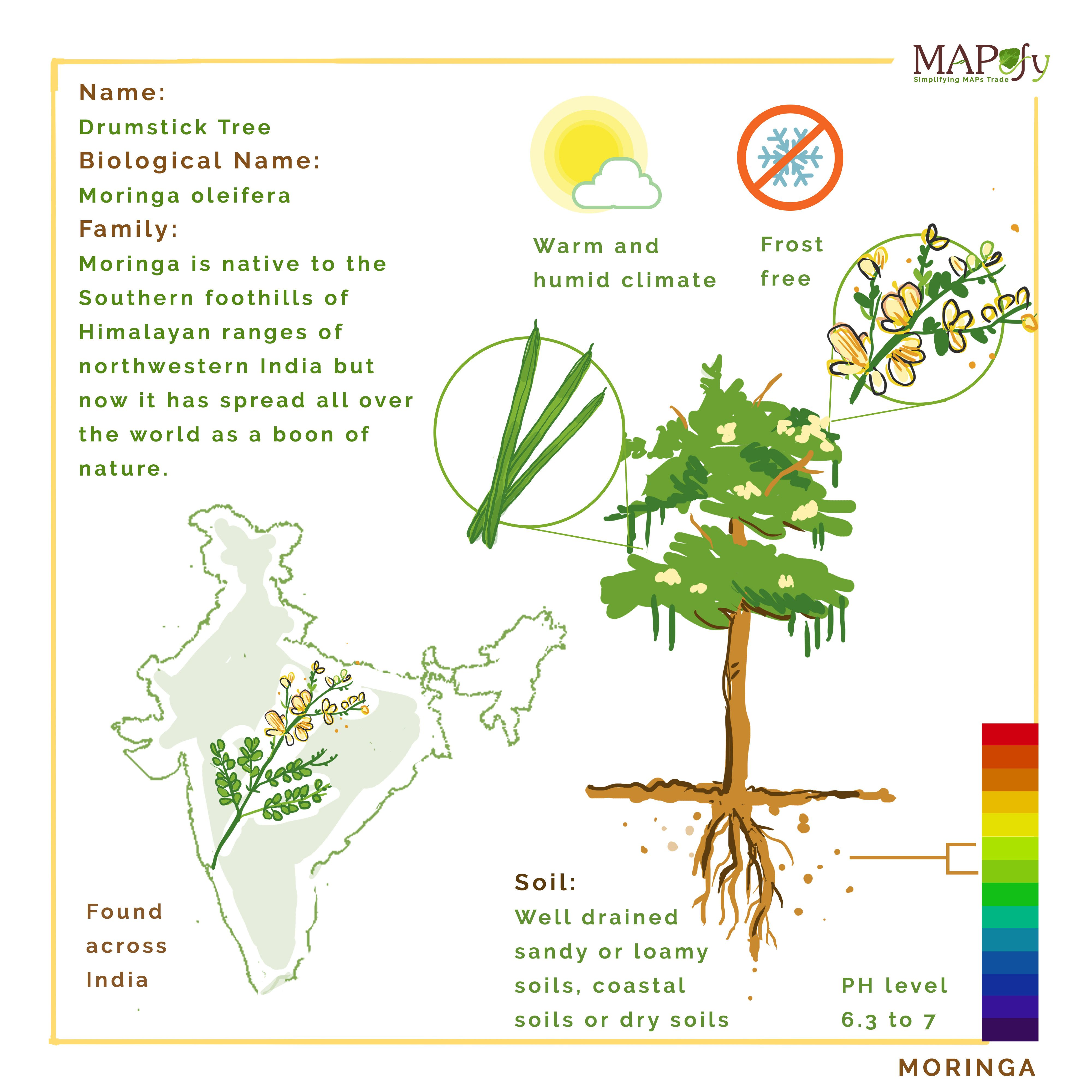 Didyouknow moringa are droughtresistant evergreen trees