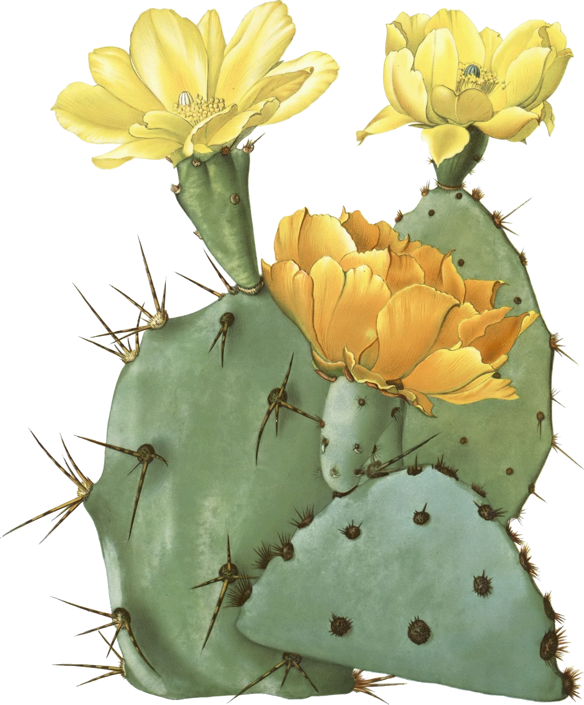 how to draw a cactus flower