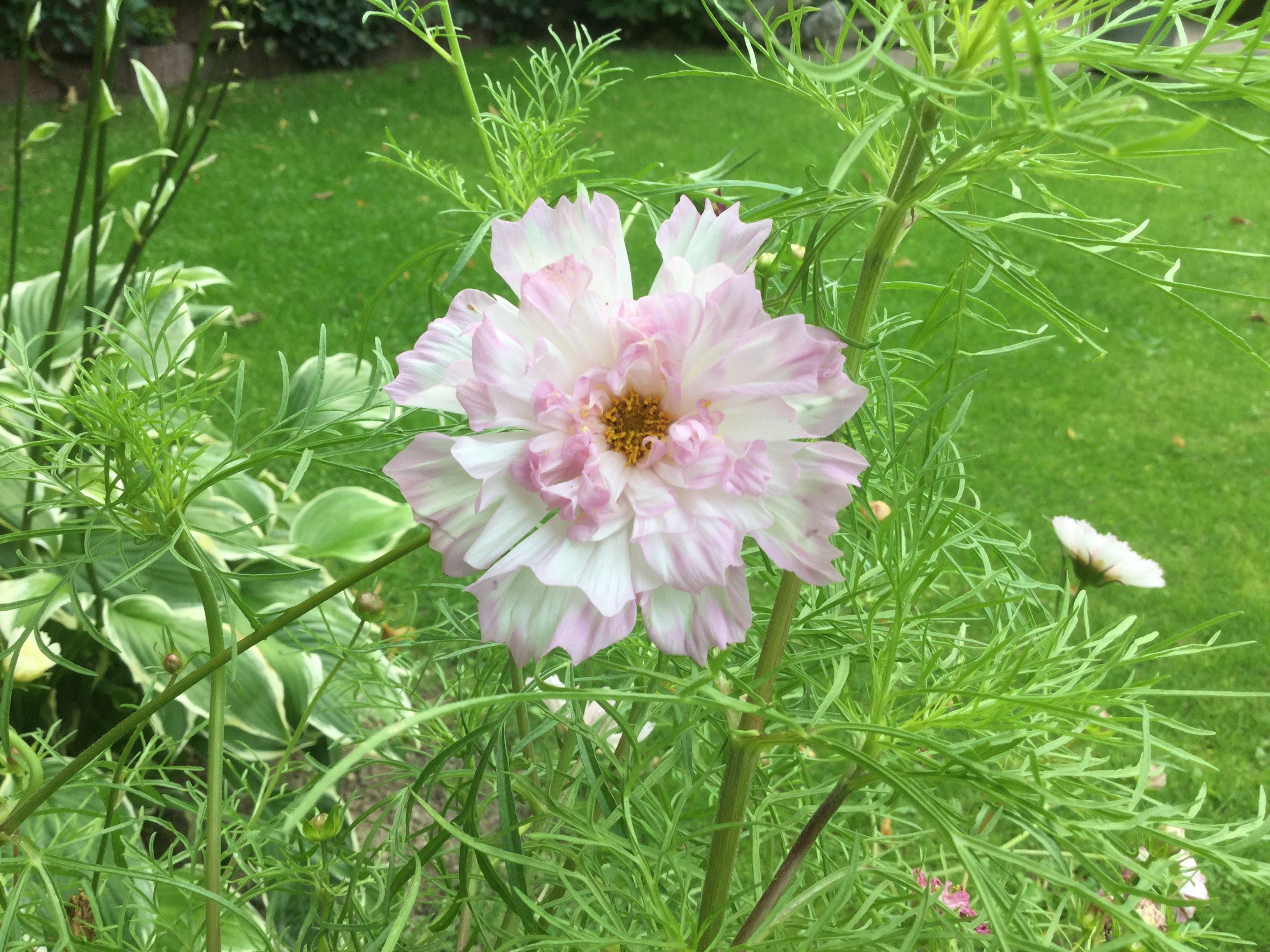 Cosmea Double Flowers Plants Garden