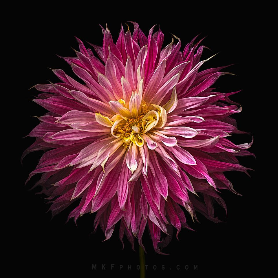 Exploding Pink Dahlia By Melanie Kern Favilla On 500px Floral Photography Art Floral Photography Dahlia Flower