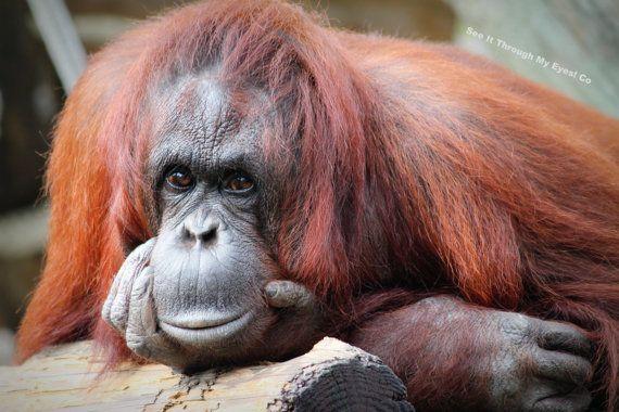 Eye to Eye Bornean Orangutan by SeeItThroughMyEyes on Etsy, $12.00