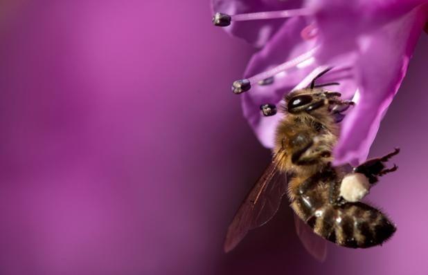 Una abeja recolecta polen de una flor cerca de Munich, Alemania (Sven Hoppe, 2017)