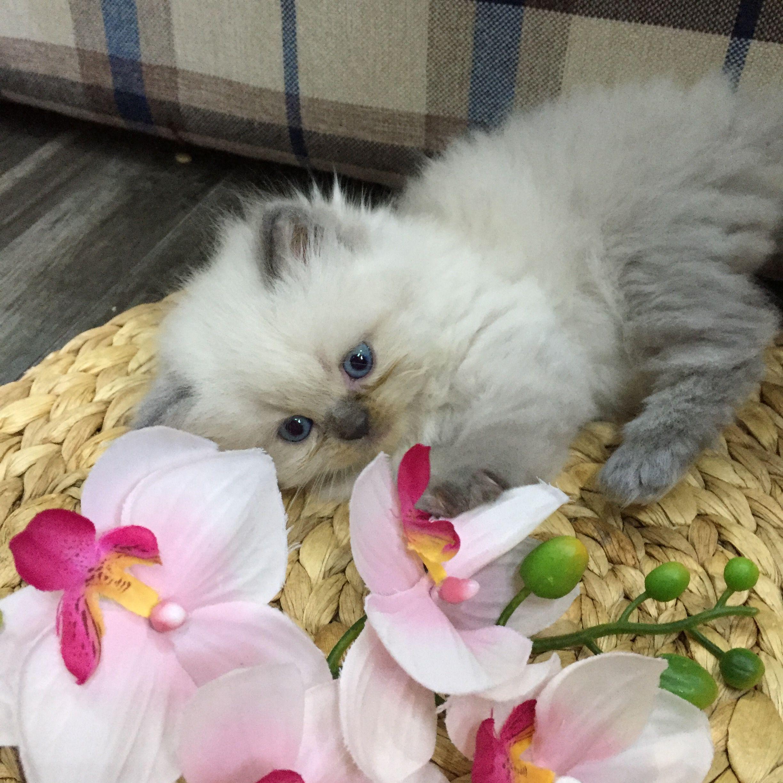 الدولة السعودية رقم الموبايل 0554532803 معلومات عن الإعلان النوع هملايا الجنس انثى العمر شهر ونص المميزات لعوبه ومتعوده على الل Animals Cats