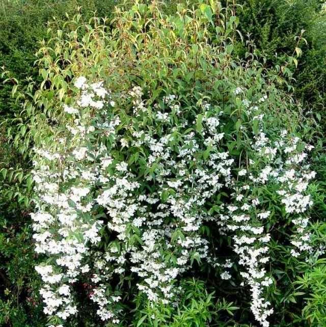 Arbustes fleurs floraison estivale quelles esp ces - Arbuste petites fleurs blanches ...