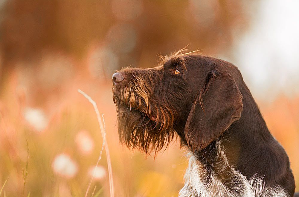 Dux german wirehaired pointer german shorthaired
