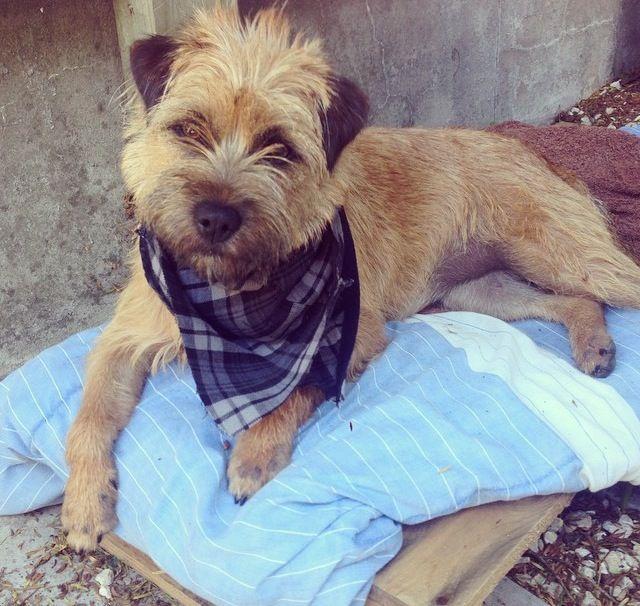 Poppy Border Terrier x Jack Russell   Pawshake