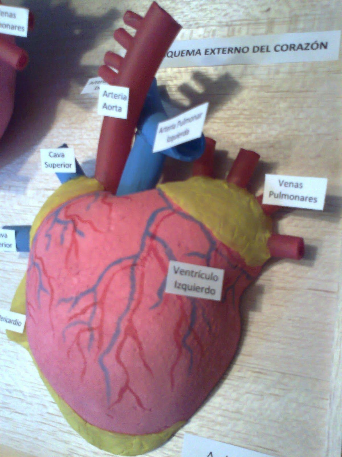 Maquetas y arte: Esquema interno y externo del corazón | Heart ...