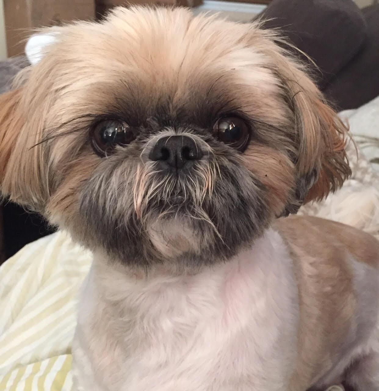 Los Angeles Dogs For You On Twitter Shih Tzu Puppy Dogs Beautiful Puppy