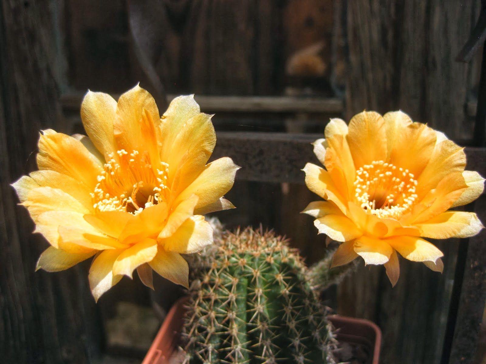 Género cuyas floraciones son espectaculares, su belleza es efímera y algunas veces nos las perdemos por no estar atentos. Echinopsis hib. ...