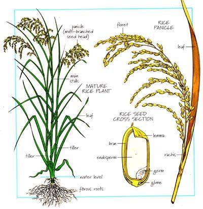 Rice Plant Diagram Rice Plant Plants Rice