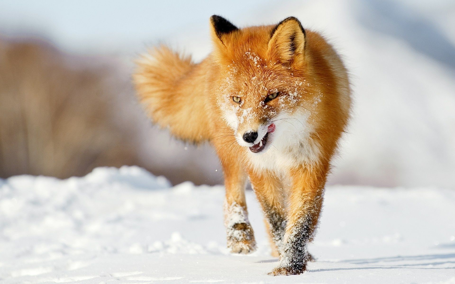View, download, comment, and rate this 1920x1200 Fox